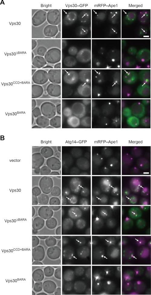 Vps30BARA is required for efficient PAS targeting of Vps30 and Atg14.A, the vps30Δ mRFP-APE1 yeast cells (TKY1647) expressing Vps30 mutants fused to GFP were subjected to microscopic observation. Vps30-GFP and mRFP-Ape1 in cells with rapamycin treatment for 1 h were observed using fluorescent microscopy. B, the vps30Δ mRFP-APE1 ATG14-GFP yeast cells (TKY1675) expressing Vps30 mutants were subjected to microscopic observation. Atg14-GFP and mRFP-Ape1 in cells with rapamycin treatment for 1 h were observed using fluorescent microscopy. Arrows indicate the PAS. A bar indicates 2 μm.