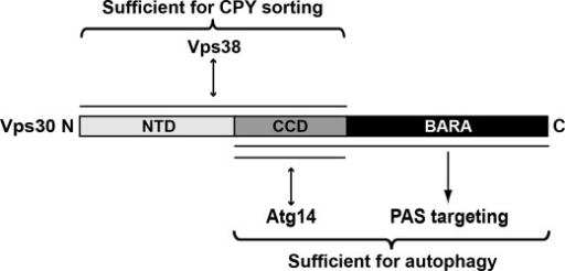 Summary of the functions of Vps30 domains revealed in this study.