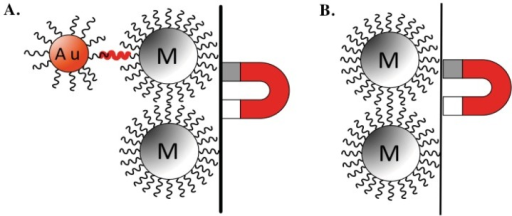 Schematic of AuNP-DNAt-MNP sandwich structure. (A) The presence of specific DNAt (red wavy bar) will covalently bind with DNAt specific probes (black wavy lines) on AuNP (red Au labeled bead) and the MNP (grey M labeled bead), allowing the collection of AuNP. (B) Absence of specific DNAt will lead to the failure of AuNP collection (image used with permission from Michael J. Anderson at Michigan State University, 2012).