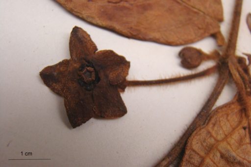 Flower of Phaeostemma fucata (from Steyermark 59963, MO).
