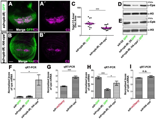 Overexpressing HA-cpa in wing discs knocked-down for cpb restores cpb mRNA and protein levels and suppresses apoptosis.(A–A′ and B–B′) standard confocal sections of third instar wing imaginal discs with dorsal sides up, expressing (A–A″) UAS-cpb-IR45668 and one copy of UAS-mCD8-GFP (green in A) or (B–B′) UAS-cpb-IR45668 and UAS-HA-cpa89E under sd-Gal4 control. Discs are stained with anti-activated-Caspase 3 (magenta), which monitors DRONC activation and (B–B′) anti-HA (green in B), reflecting HA-cpa89E expression. The scale bars represent 30 µm. (C) quantification of total C3 area per disc area for the two genotypes shown in A–A′ and B–B′. The means for sd>cpb-IR45668, GFP is 62.19 (n = 22); for sd>cpb-IR4566, HA-cpa89E is 26.67 (n = 32). Error bars indicate s.e.m. P<0.0001 for comparison of between both genotypes. (D and E) western blots on protein extracts from wing discs expressing two copies of UAS-mCD8-GFP (lane 1) or UAS-cpb-IR45668 and two copies of UAS-mCD8-GFP (lane 2) or UAS-cpb-IR45668 and UAS-HA-cpa89E and one copy of UAS-mCD8-GFP (lane 3) under sd-Gal4 control, blotted with (D) anti-Cpa (upper panel) and anti-H3 (lower panel) or (E) anti-Cpb (upper panel) and anti-H3 (lower panel). (F to I) graphs of (F and G) cpa or (H and I) cpb mRNA levels measured by (F and H) three or (G and I) five independent qRT-PCR in wing imaginal discs expressing (F and H) two copies of UAS-mCD8GFP (lane 1) or UAS-cpb-IR45668 and UAS-mCD8GFP (lane 2) or UAS-cpb-IR45668 and UAS-HA-cpa89E (lane 3) or (G and I) UAS-mCherry (lane 1) or UAS-HA-cpa89E under sd-Gal4 control. (F) the means for lane 1 is 0.90; for lane 2 is 1.04; for lane 3 is 9.8. P<0.033 for comparison of lane 1 with 3. (G) the means for lane is 1.07; for lane 2 is 1.88. P<0.0001 for comparison of lane 1 and 2. (H) the means for lane 1 is 0.59; for lane 2 is 0.25; for lane 3 is 0.4319. P<0.0018 for comparison of lane 1 and 2 or P<0.048 for comparison of lane 2 and 3. (I) the means for lane 1 is 0.29; for lane 2 is 0.31. n.s. indicates non-significant P value. Error bars indicate s.e.m.