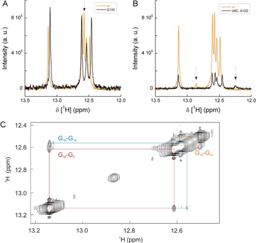 Assignment of 1H NMR signals to double-stranded basepairs that form the 3′(−)SL RNA secondary structure.The 3′(−)SL RNA displays 5 distinct major imino protonsignals in the 1H NMR spectrum that correspond to a stem-loopRNA secondary structure comprising a 5 base-paired stem, a penta-loop,and 4 and 2 nucleotide single-stranded parts at the 3′- and5′-ends, respectively. (A) A spectrum of the wild-type 3′(−)SLRNA was compared with the spectrum of a 3′(−)SL RNAmutant G13C, which features only 4 prominent base pairs. This enabledthe assignment of the imino proton signal of G13, as indicatedby the arrow. (B) An alternative stem-loop structure with an additionalsixth base pair, U8–A12, resulting ina conformation consisting of a 6 base-paired double-stranded stemand a triple-loop, is less populated in solution. This was shown bysubstitution of the wild-type U8–A12 byC8–G12, which resulted in a new iminoproton signal in the 1H NMR spectrum at higher field, asindicated by the arrows. (C) Two-dimensional 1H–1H NOESY spectrum of 1 mM 3′(−)SL RNA was recorded,yielding intramolecular imino–imino NOE signals. Depicted arethe following NOE cross peaks: G16–G15, turquoise; G16–G3, red; G13–G14, ocher.