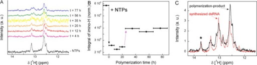 RNA-dependent RNA polymerization monitored by real-time 1D 1H NMR spectroscopy. Product formation (double-stranded RNA)by the HCV-polymerase was monitored with the native 3′(−)SLRNA template following the addition of NTPs. (A) Proton spectra sensingdouble-stranded RNA were recorded at different time points of thepolymerization reaction: 0–8 h, magenta; 8–16 h, red;16–24 h, orange; 25–46 h, yellow; 46–67 h, green;and 67–88 h, blue after the addition of NTP to the polymerase–RNAcomplex (binary complex) (black). Upon binding of NTPs to the binarycomplex, the intensity of the RNA-related 1H NMR signalsdecreased. During an initial period of ca. 24 h, a constant signalpattern of the RNA was observed. After about 25 h, newly developedimino proton NMR signals were detectable that corresponded to thereleased double-stranded RNA product. (B) The enzymatic progress curveillustrates the HCV-polymerase interacting with the partially double-stranded3′(−)SL RNA as well as the subsequent product formationand release process of the double-stranded RNA. The initial decreaseof the integrated imino proton NMR signals upon addition of NTPs indicatesan increased affinity for the RNA template in the catalysis-competentternary complex compared to the binary polymerase–RNA complex.After a significant lag phase, new imino proton NMR signals developed,corresponding to dsRNA product formation and release. The kcat ≈ 0.1 min–1 (NTP)was determined assuming that 20 μM RNA product (21 bp) was producedby 20 μM polymerase–RNA complex within 5 h. The horizontalbars reflect the time of accumulation of the respective spectra. (C)Comparison of the 1D 1H NMR spectrum of the product ofthe HCV-polymerase-catalyzed polymerization reaction (solid blackline) with a chemically synthesized and annealed 21 bp double-strandedRNA (dashed red line). The integral of the signal at 13.75 ppm inthe 1H NMR spectrum (marked by an asterisk) is equal to0.05 of the total integral of all imino proton signals, as expectedfor 21 paired bases.