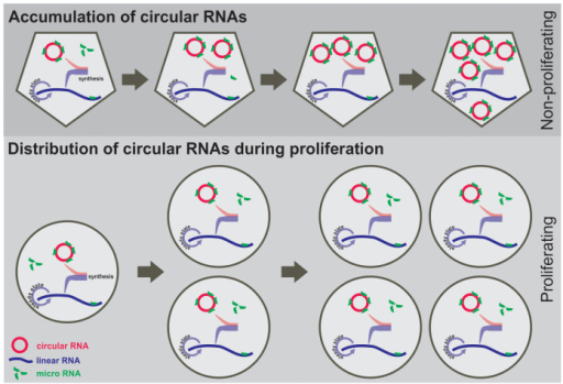 Schematic model of circular and linear RNAs in proliferating and non-proliferating cells.Assumption: Circular and linear RNAs are synthesized by specific splice events in a gene (cell type and condition) dependent ratio. While linear RNAs are in a steady state of regulated synthesis and degradation, circular RNAs are much more stable. During proliferation both RNA species are evenly distributed to daughter cells. The steady state level of linear transcripts is accurately controlled and maintained by active transcription and degradation also leading to new expression of circular RNAs and resulting in constant ratios of circular to linear isoforms (lower panel). In contrast, in non-proliferating cells stable circular RNAs accumulate whereas linear transcripts are in a regulated steady state of transcription and degradation (upper panel).