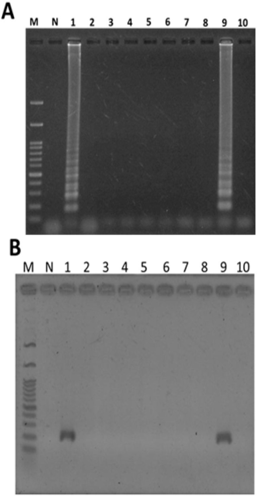Diagnostic authentication of commercial plants of Taraxacum formosanum from various herbal markets using LAMP method (A) and PCR (B). Ten plants of Taraxacum formosanum obtained from various herbal markets were used for rapid authentication using the LAMP method after adding plant genomic DNA. Lane M, 1 kb of DNA ladder marker; lane N, genomic DNA of Ixeris chinensis; lane 1–10, ten commercial plant of Taraxacum formosanum from various herbal markets.