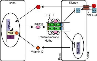 Phosphate And Vitamin D Homeostasis Regulation Openi. Phosphate And Vitamin D Homeostasis Regulation Upon Binding To Its Receptor. Wiring. Homeostasis Diagram Of Vit D At Scoala.co