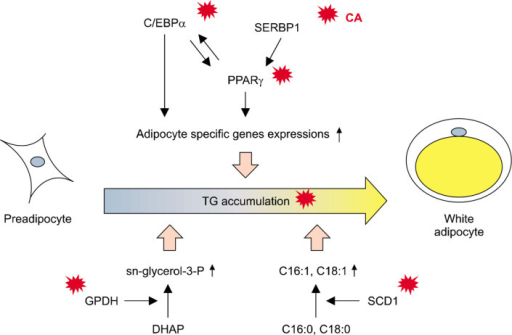 The hypothetical scheme of a mechanism in which carnosic acid (CA) inhibits lipid accumulation in 3T3-L1 adipocytes. CA effectively inhibits lipid accumulation in differentiating 3T3-L1 adipocytes by blocking adipocyte-associated gene expression and glycerol 3-phosphate dehydrogenase (GPDH) activity, leading to changes in fatty acid composition. PPARγ, peroxisome proliferator-activated receptor-γ; C/EBPα, CCAAT/enhancer binding protein-α; SREBP1, sterol regulatory element-binding protein 1; TG, triglycerides; SCD1, stearoyl CoA desaturase 1; DHAP, dihydroxyacetone phosphate; C16:1, palmitoleate; C18:1, oleate.