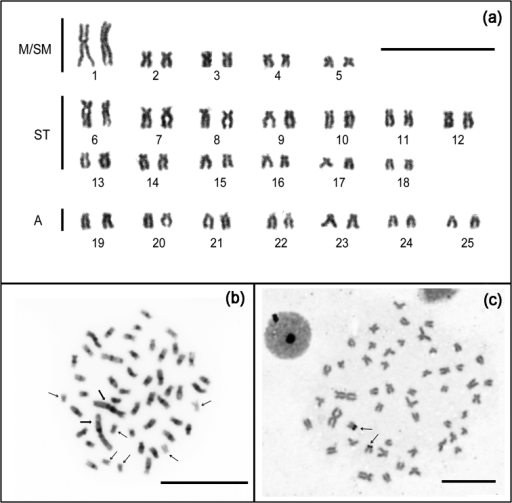 Chromosomes of Rhoadsiaaltipinna (male). (a) Giemsa-stained karyotype, M/SM: Metacentric/Submetacentric; ST: Subtelocentric; A: Acrocentric; (b) C-band somatic metaphases - thin arrows indicate chromosomes without positive C-bands and thick arrows point to heterochromatin on the pair number 1; (c) Silver-stained metaphase. Arrows indicate Ag-NORs. Bar =10 µm.