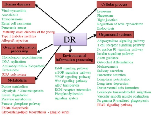 The coregulated pathways network related to diabetic retinopathy (DR) was established based on the 48 significant pathways identified by gene set enrichment analysis (GSEA). The names in red boxes represent 6 Kyoto Encyclopedia of Genes and Genomes (KEGG) pathway maps, and the names of significant pathways (upregulated pathways shown in red text and downregulated pathways shown in green) associated with DR.