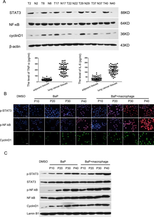 Activation of the NF-κB and STAT3 signaling pathways in lung cancerA, Western blot. Expression levels of TNF-α, IL-6, NF-κB, STAT3, and cyclinD1 proteins in lung cancer tissues. B, Immunofluorescence assay. Proteins of the NF-κB and STAT3 signaling pathways were detected during the malignant transformation of 16HBE cells by an immunofluorescence assay. Scale bar, 10 μm. C, Western blot. Proteins of the NF-κB and STAT3 signaling pathways were assayed during the malignant transformation of 16HBE cells by western blot.