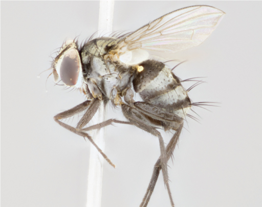 lateral female