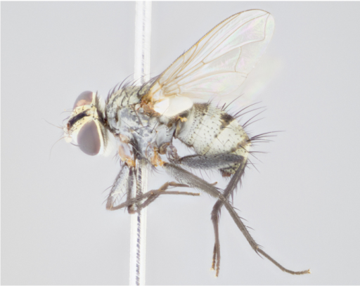 female lateral
