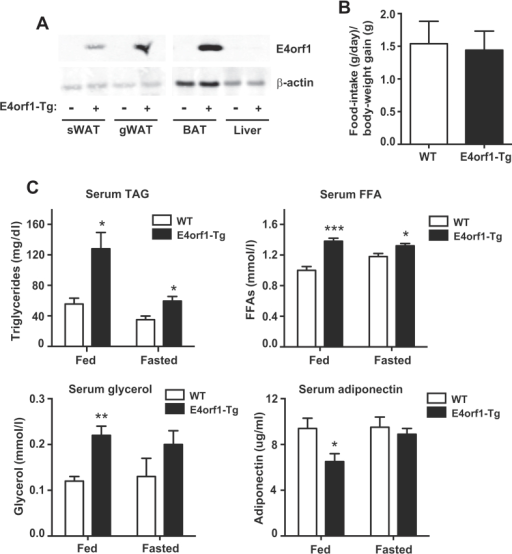 Adipose-tissue-specific induction of E4orf1 promotes fasting-induced lipolysis and lowering of adiponectin levels. (A) Representative Western blots showing E4orf1 protein expression levels (top panel) and β-actin (bottom panel) in subcutaneous white adipose tissue (sWAT), gonadal WAT (gWAT) and brown adipose tissue (BAT) derived from wild-type (WT) mice versus adipose tissue-specific E4orf1 transgenic (E4orf1-Tg) mice fed doxycycline (Dox)-chow (600 mg/kg Dox) for one-week. (B) Food-intake (g/day/body-weight gain [g]) of WT mice versus E4orf1-Tg mice following two-weeks of Dox-chow (600 mg/kg) feeding, (n = 5 per group). (C) Ad libitum and 24 h fasted circulating triglycerides (TAG), free fatty acid (FFA), glycerol and adiponectin levels in male C57/Bl6 WT mice versus E4orf1-Tg mice post two-weeks Dox-chow (600 mg/kg) feeding, (n = 5 per group). (Student's t-test, *P < 0.05; **P < 0.01; ***P < 0.001).