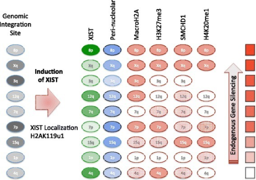 Schematic of features examined at the site of XIST RNA induction. Nine different integration sites of XIST were examined, and these were in both G-light (pale gray) and G-dark genomic locations. Upon DOX induction XIST was expressed (intensity of green oval reflects average amount of XIST expression) and increased perinucleolar localization was observed (blue oval intensity reflects increase, with significant changes encircled in black). H2AK119u1 was enriched at all four integration sites examined. The enrichment of chromatin marks or proteins that were variably recruited (see Table 2) is shown as solid (enrichment >25 %), dotted (enrichment between 10 % and 25 %) or unfilled (enrichment ≤10 %). The integration sites are ordered by ranking of gene silencing observed by pyrosequencing (fill of red rectangle reflecting proportion of silenced genes, see Additional file 3)