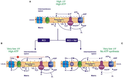 Effect of PmitoKATP activity on the electrical membrane potential (ΔΨ) and ATP synthesis. (A) In the absence of KCl, PmitoKATP is inactive and the proton re-entry into the matrix via the ATP synthase (ATPase) drives the ATP synthesis according to the classical chemiosmotic scheme. (B) In the presence of KCl, PmitoKATP is active and the concurrent K+ cycle (see Figure 1) competes with ATPase for protons. Since PmitoKATP represents the rate-limiting step of the cycle, its inhibition by ATP may carefully regulate the rate of the cycle, so that the bulk phase measurable ΔΨ is strongly lowered, but a latent ΔΨ remains feeding the ATPase pathway to regularly accomplish ATP synthesis. (C) On the contrary, in the presence of the K+ ionophore valinomycin (val), PmitoKATP and its modulation by ATP are bypassed, so the K+ cycle monopolizes protons and uncouples mitochondria collapsing both ΔΨ and ATP synthesis. The reducing equivalent flux through the respiratory chain to molecular oxygen, the coupled proton ejection into the intermembrane space, the ADP/ATP antiport via Adenine Nucleotide Translocator (ANT) and the ATP synthesis via ATPase are indicated; + and – signs refer to ΔΨ. The continuous or dotted arrows refer to a more or less active pathway, respectively. SH2, reduced substrates; S, oxidized substrates; i.m.m., inner mitochondrial membrane.