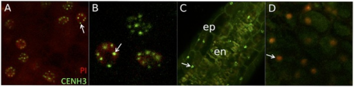 AcGREEN-tailswap-CENH3 localizes to centromeres. These images are representative of those found in all events checked from all four constructs. (A) CENH3 localization has a punctate pattern in the scutellar nuclei of a transgene-hemizygous individual from event *32A. Arrow indicates a nucleus containing several CENH3+ foci corresponding to centromeres. (B) Close up of (A). Arrow indicates one CENH3+ centromere. (C) CENH3 localizes to nuclei in the epidermal and endothecial cells of the pre-meiotic (~1.0 mm long) anther from a transgene-hemizygous individual from event *32A. Arrow indicates one epidermal cell nucleus with several discrete CENH3+ centromeres. (D) CENH3 was not observed in a transgene- individual from event *32A. Arrow indicates one scutellar nucleus with no CENH3+ centromeres visible. PI, propidium iodide; ep, epidermal cells; en, endothecial cells.