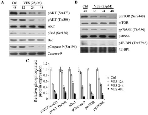 VES inhibits AKT and mTOR, in addition to their downstream targets. EC-109 cells were treated with 25 µM VES for 12, 24 and 48 h. (A) Protein expression levels of p-AKT (Ser473 and Thr308), p-Bad (Ser136), p-caspase-9 (Ser196), and expression levels of total AKT, Bad and caspase-9 were detected by western blotting. (B) Protein expression levels of p-mTOR (Ser2448), p-p70S6K (Thr389), and p-4E-BP1 (Thr37/46), and expression levels of total mTOR, p70S6 K and 4E-BP1 were determined by western blotting. (C) Protein expression levels were quantified and presented as the mean ± standard error of the mean. VES, vitmain E succinate; AKT, serine-threonine kinase AKT; mTOR, mammalian target of rapamycin; p, phosphorylated; Bad, Bcl-2-associated death promoter; p70S6K, ribosomal protein S6 kinase β1; 4E-BP1, eIF4E-binding protein 1; Ctrl, control.
