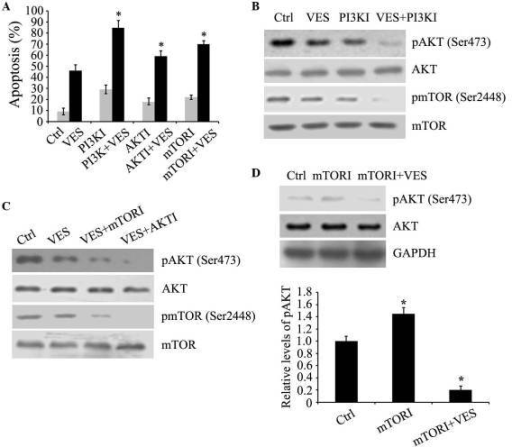 Inhibitors of PI3K, AKT and mTOR enhance VES-induced apoptosis. (A) EC109 cells were cultured with 15 µM VES, plus 2 µM PI3KI, LY294002, 10 µM AKTI, triciribine, and 50 nM mTORI, rapamycin for 24 h. Apoptosis was determined by fluorescence-activated cell sorting analysis. (B and C) Protein levels of p-AKT (Ser473) and p-mTOR (Ser2448), in addition to expression levels of total AKT and mTOR were determined by western blot analyses in EC109 cells treated with the three inhibitors and VES. (D) EC109 cells were treated with 50 nM mTORI rapamycin and 15 µM VES for 24 h. Protein expression levels of p-AKT (Ser473), AKT and GAPDH were determined by western blot analyses. Protein expression levels were quantified and presented as the mean ± standard error of the mean. *P<0.05 vs. ctrl group. PI3K, phosphoinositide-3-kinase; AKT, serine-threonine kinase AKT; mTOR, mammalian target of rapamycin; VES, vitamin E succinate; p, phosphorylated; PI3KI, PI3K inhibitor; AKTI, AKT inhibitor; mTORI, mTOR inhibitor; Ctrl, control.