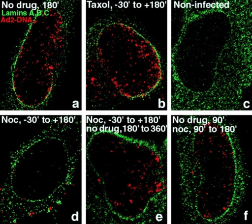 Inhibition of Ad2  DNA import in nocodazole-,  but not taxol-treated HeLa  cells. HeLa cells were pretreated with either nocodazole (20 μM) or taxol (25 nM)  as described in Fig. 2. Wt Ad2  (20 μg/ml) was bound in the  cold in the presence or absence of drugs and internalized in DME-BSA medium in  the absence (a) or presence of  taxol (b) or nocodazole (d)  for 180 min. A parallel sample of nocodazole-treated  cells was washed several  times in drug-free medium  and incubated for an additional 180 min in DME-BSA  (e). Alternatively, nocodazole was added to cells from  90 up to 180 min p.i. (f). All  samples including noninfected cells (c) were then analyzed by in situ hybridization  using TR-labeled genomic  Ad2 DNA followed by anti-lamin immunolabeling of nuclear envelopes and confocal  laser scanning microscopy.