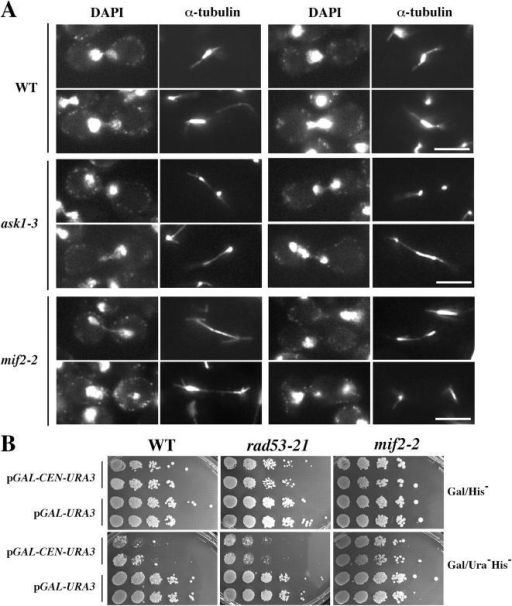 Analysis of spindle morphology in HU-treated ask1 and mif2 mutants and CEN function in rad53 mutants. (A) Spindle extension after activation of the S phase checkpoint. 2.5 h after release from G1 to 200 mM HU at 35°C, DAPI and α-tubulin images were obtained for WT, ask1-3, and mif2-2 strains. Bars, 5 μm. (B) CEN transcription assay. 10-fold serial dilutions of WT (Y300), rad53-21 (Y301), and mif2-2 (JBY358) strains transformed with pGAL-CEN6-URA3 or pGAL-URA3 were spotted onto Gal/His− and Gal/His−Ura− galactose media. Growth was assayed after 4 d at 28°C. Growth on His− media selects for the plasmid; His−Ura− plates reveal the extent of CEN interference with URA3 expression.