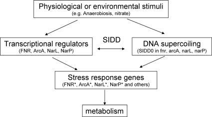 Proposed Model of SIDD-Mediated Transcriptional RegulationStrong SIDD sites are proposed to be important regulatory elements for global gene expression in response to environmental or physiological stresses.doi: 0.1371/journal.pcbi.0040017.g007