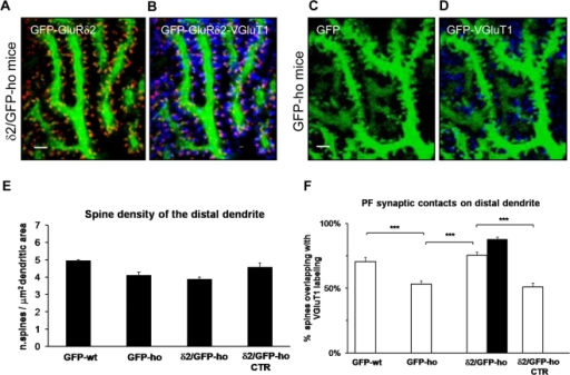 GluRδ2 promotes formation of PF contacts in the PC distal domain of δ2/GFP-ho mice.(A–D) Immunostaining of PF innervations on PC distal dendrites of δ2/GFP-ho mice (A–B) and GFP-ho mice (C–D). GFP spines bearing GluRδ2 (red, A) are contacted by PF terminals labeled by VGluT1 antibody (blue) (B). (E–F) Histograms show the mean density of spines emerging from the distal dendritic domain and the percentage of spines contacted by the PFs in this compartment. (E) The mean spine density does not change between the experimental groups (p = 0.096). (F) The mean percentage of spines overlapping with VGluT1 is increased in δ2/GFP-ho mice relative to control ho groups (GFP-ho and δ2/GFP-ho CTR), while there is no significant difference between δ2/GFP-ho mice and the GFP-wt group. In the presence of GluRδ2, indicated as the percentage of spines expressing GluRδ2 (black column), the number of PF contacts reaches that of wild-type mice. *** p<0.001. Error bars indicate SE. Scale bars:  = 2 µm.