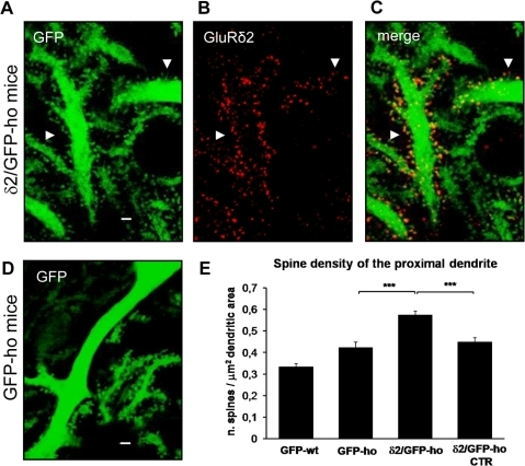 GluRδ2 induces spinogenesis in the PC proximal dendritic compartment of δ2/GFP-ho mice.(A–D) Immunostaining of PC proximal dendrites in δ2/GFP-ho (A–C) and GFP-ho mice (D). In δ2/GFP-ho mice, many new spines, expressing the GluRδ2 subunit (red) (B and C), appears in the proximal dendrite relative to GFP-ho mice (D). (E) Histogram shows the mean spine density in the proximal dendritic domain. In the presence of GluRδ2, the number of spines significantly increases relative to control groups (GFP-wt; GFP-ho and δ2/GFP-ho CTR). *** p<0.001. Error bars indicate SE. Scale bars: A–E = 2 µm.