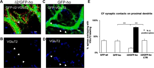 GluRδ2 causes a reduction of CF inputs on the PC proximal dendrite in δ2/GFP-ho mice.(A–D) Immunostaining of CF varicosities (blue) on the PC proximal domain of δ2/GFP-ho mice (A–B) and GFP-ho mice (C–D). (A–B) In δ2/GFP-ho mice, numerous spines bearing GluRδ2 (red, A) appear in the proximal domain. The number of CF varicosities labeled with the VGluT2 antibody (blue, A–B) is reduced relative to GFP-ho mice (C–D). The arrowheads indicate the CF varicosities in the δ2/GFP-ho that are smaller relative to the control. (E) Histogram shows the mean percentage of spines overlapping with VGluT2. A significant reduction is observed in the δ2/GFP-ho mice relative to the GFP-ho and δ2/GFP-ho CTR groups and also to GFP-wt mice. These results show that in presence of GluRδ2, indicated as the percentage of spines expressing GluRδ2 (black column), the number of CF contacts is strongly reduced. *** p<0.001. Error bars indicate SEM. Scale bars in A–D = 2 µm.