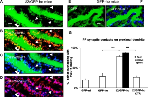 GluRδ2 promotes an increase in PF inputs on the PC proximal dendrite of δ2/GFP-ho mice.(A–F) Immunostaining of PF innervations (blue) on the PC proximal domain of δ2/GFP-ho mice (A–D) and GFP-ho mice (E–F). (A) In the δ2/GFP-ho group, numerous spines (arrowheads) bearing GluRδ2 (red, B) appear in the proximal domain, and the PF contacts, labeled with VGluT1 antibody (blue, C and D), are more numerous relative to GFP-ho mice (E–F). The overlap between GluRδ2 and the PF synaptic terminals appears as fuchsia (D). (G) Histogram shows the mean percentage of spines overlapping with VGluT1. A significant increase is observed in the δ2/GFP-ho mice relative to the GFP-ho and δ2/GFP-ho CTR groups and also to GFP-wt mice. These results show that in presence of GluRδ2, indicated as the percentage of spines expressing GluRδ2 (black column), the PF input has a competitive advantage. ***p<0.001. Error bars indicate SE. Scale bar: A–F = 2 µm.