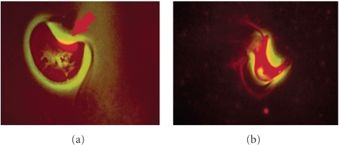 Phase contrast and fluorescent microscopy of Cryptobia salmositica after exposure to isometamidium chloride. (a): Exposure to drug only, note accumulation of drug (in red) in the kinetoplast; (b):  exposure to drug conjugated to polyclonal antibodies from a recovered fish, note that the drug (in red) is throughout the organism (reproduced from Ardelli and Woo [59]).