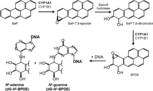 figure 0002ellipticine and benzoapyrene increase their