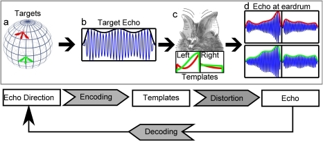 Illustration of the classification model used to evaluate the localization performance of R. rouxi.Top row: (a) Targets at different locations (red and green insect) yield a similar echo (b) of which the amplitude is modulated due to movements of the targets. The movement of the pinnae (c) during the reception of the echo modulates the amplitude of the echo (d). This modulation depends on how the pinna movement moves the target through the HRTF of R. rouxi (illustrated in c bottom). (d) The final amplitude modulated echoes for the read and the green target at both tympanic membranes. Bottom Row: An algorithmic explanation of the model. The direction from which an echo originates is encoded by the amplitude modulation introduced by the ears (templates). Distortions of this encoding occur due to amplitude modulations introduced by the moving targets. The bat tries to decode the direction of the echo. Our model estimates the mutual information between the echo and the echo direction.