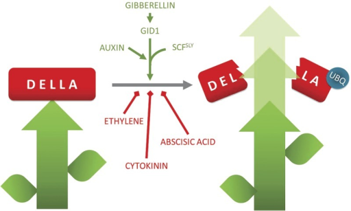 the effects of gibberellic acid Gibberellic acid (ga), a plant hormone stimulating plant growth and development, is a tetracyclic di-terpenoid compound gas stimulate seed germination, trigger transitions from meristem to shoot growth, juvenile to adult leaf stage, vegetative to flowering, determines sex expression and grain development along with an interaction of different environmental factors viz , light, temperature and water.