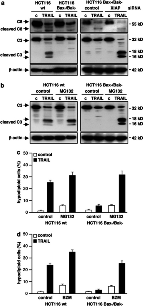 TRAIL-induces pro-caspase-3 processing in Bax/Bak double-deficient cells but fails to overcome inhibition by XIAP and proteasomal caspase-3 degradation. (a) HCT116 wt and Bax−/Bak− cells were treated with 50 ng/ml TRAIL and pro-caspase-8 and -3 processing were analyzed by immunoblotting. TRAIL-treatment induced cleavage of pro-caspase-8 and -3 in both cell lines. Cleavage of pro-caspase-8 is accompanied by generation of its active subunits. In contrast, processing of pro-caspase-3 to its active subunits is detectable only in HCT116 wt but not in HCT116 Bax−/Bak− cells (left). Additional downregulation of XIAP in combination with TRAIL caused full processing of pro-caspase-3 to its active subunits in HCT116 Bax−/Bak− cells (right). (b) HCT116 wt and Bax−/Bak− cells were incubated with the proteasome inhibitor MG132 prior to TRAIL-treatment. Upon inhibition of the proteasome, TRAIL-treatment resulted in full processing of pro-caspase-3 to its active subunits in both cell lines. (c, d) In addition to TRAIL, HCT116 wt and Bax−/Bak− cells were treated with 1 μM of MG132 (c) or with 1 μM of bortezomib (BZM) (d). Cells were cultured for 24 h, harvested and apoptotic cells were determined by flow cytometric measurement of cellular DNA content. HCT116 wt cells were sensitized for TRAIL-induced apoptosis by MG132 or BZM. Furthermore, inhibition of the proteasome enables TRAIL to kill Bax/Bak-deficient HCT116 cells