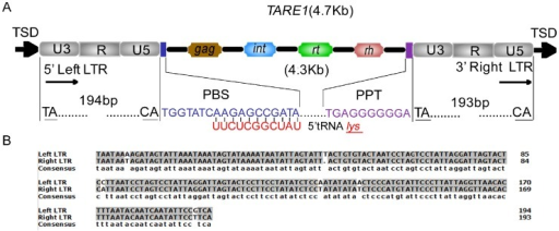 Schematic TARE1 and the LTR sequence comparison.(A) Str | Open-i