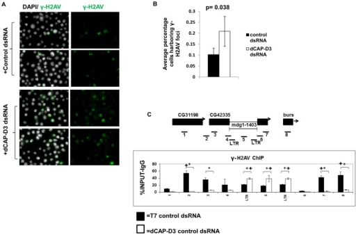 "Decreased dCAP-D3 expression results in double strand break accumulation within retrotransposon sequence.A) Immunofluorescence analysis shows increased numbers of SG4 cells exhibiting γ-H2AV foci following 4 days of treatment with dCAP-D3 dsRNAs compared to cells treated with T7 control dsRNA. γ-H2AV is shown in green and DAPI stained nuclei in white. Two representative panels are shown for each dsRNA treatment. The average percentage of cells in each of 10 random frames (n≥1000 cells) harboring γ-H2AV foci is quantified in (B). C) ChIP for γ-H2AV performed on the mdg1-1403 locus in SG4 cells treated with control dsRNA (black bars) demonstrates higher levels of binding in the regions flanking retrotransposon sequence. ChIP in cells treated with dCAP-D3 dsRNA (white bars) show a shift in γ-H2AV distribution out of retrotransposon flanking regions and into retrotransposon sequence. Primer sets used are depicted above the charts. Primer sets ""LTR"" and ""5"" are not specific for each of the loci but instead prime global retrotransposon sequence. Results are the averages of 2 experiments involving duplicate IPs and are presented as a percentage of the IP with control IgG ChIP signal subtracted. (*) indicates a quantitative comparison between γ-H2AV signal in control dsRNA and dCAP-D3 dsRNA treated cells with a p-value less than 0.05 as calculated by student unpaired t-test. (+) indicates a quantitative comparison of specific γ-H2AV signal to the average over the entire locus with a p-value less than 0.05 as calculated by student unpaired t-test."