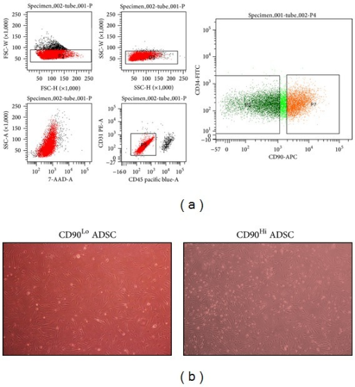 CD90Hi and CD90Lo sorting. (a) Gates for CD90Hi  (P7) and CD90Lo  (P8) are shown. (b) Sorted cells showed similar morphologies 24 h after sorting. Then, the cells were transduced with 4F.