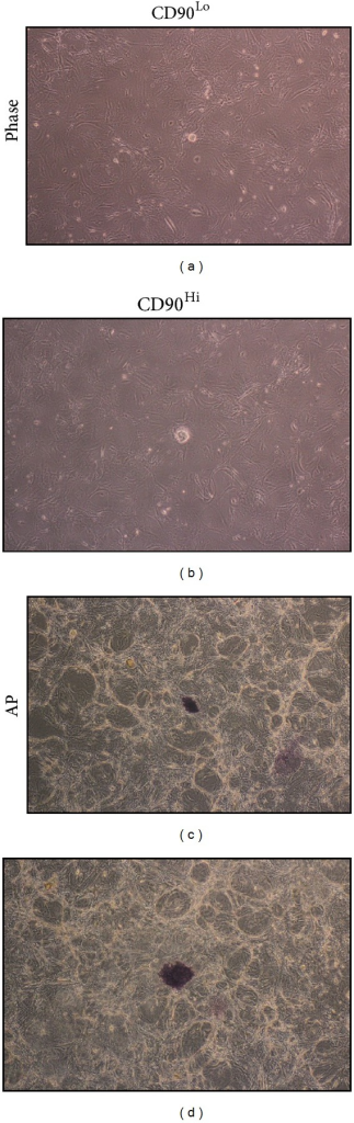 Colony formation of the sorted cells. Phase (a and b) and alkaline phosphatase staining (c and d) of CD90Lo (a and c) and  CD90Hi (b and d) are shown.