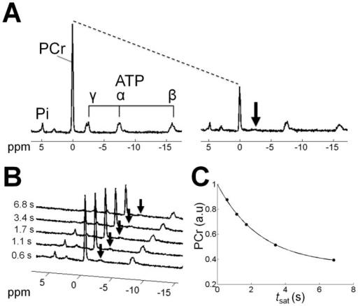Unlocalized ST-31P-MRS of the lower leg.A) Fully relaxed 31P spectrum without ST preparation (tsat = 0 s) (left) and 31P-ST Spectrum with complete saturation (arrow) of the γ-ATP resonance (tsat = 6.84 s) (right). B) Series of ST spectra at different tsat. C) PCr signal intensity fitted to Eq.2, (Pearson's product moment correlation = 0.9992).