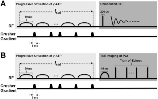 Saturation transfer spectroscopy (ST-31P-MRS) and imaging (ST-31P-MRI) pulse sequences.A saturation transfer module consists of a train of Gaussian pulses, which saturates the γ-ATP resonance. Spoiler gradients are used between two consecutive pulses to destroy any remaining transverse magnetization. The number of Gaussian pulses defines tsat in each experiment. A) Unlocalized 31PMRS data were acquired by sampling the free induction decay (FID) after implementing the ST module. B) Identical ST preparation module as in 31P-MRS, followed by a spectrally selective 31P-MRI imaging sequence.