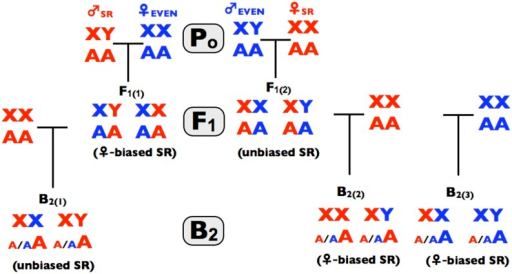 The crosses use in the process-of-elimination assay. Red denotes genes, or individuals from the SR line and correspondingly blue for the control line. Po denotes the parental crosses in step 1 of the process-of elimination assay, F1 denotes progeny from the parental crosses (step 2 of the assay), and B1 denotes progeny form the backcrosses (step 3 of the assay). Parenthetical text denotes the observed pattern found in this study.
