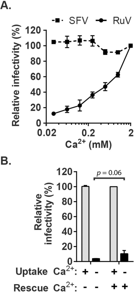 Effect of Ca2+ on RuV infection.(A) RuV or SFV was pre-bound to Vero cells on ice for 90 min in binding medium. Cells were shifted to 37°C for 20 min in medium containing the indicated concentrations of CaCl2, and then cultured for 48 h at 37°C in growth medium plus 20 mM NH4Cl to prevent secondary infection. Infected cells were scored by immunofluorescence. Infectivity was normalized to that observed at 2 mM CaCl2, which was ∼15% infected cells. (B) RuV was prebound to Vero cells as in panel A and incubated at 37°C for 20 min in medium with or without 2 mM CaCl2 (Uptake). The cells were then incubated for 1 h at 37°C in medium with or without 2 mM CaCl2, to test if infection could be rescued by the addition of Ca2+ (Rescue). The cells were then cultured for 48 h at 37°C in growth medium plus 20 mM NH4Cl, scored by immunofluorescence, and infectivity normalized to that observed when 2 mM CaCl2 was present throughout the experiment. Data in A are the mean and range of 2 independent experiments. Data in B are the mean and standard deviation from 3 independent experiments. Statistical analysis was performed in (B) using a paired Student's t test.