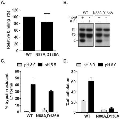 Characterization of RuV E1 N88A,D136A virus.(A) Cell binding. Radiolabeled WT RuV or N88A,D136A mutant was bound to Vero cells on ice. Binding efficiency was calculated relative to WT RuV. (B) Stability of the RuV E2-E1 heterodimer. Radiolabeled WT RuV or N88A,D136A mutant viruses were lysed in detergent, E1 was immunoprecipitated, and co-retrieval of E2 was determined by SDS-PAGE and autoradiography. (C) E1 trypsin resistance. Radiolabeled WT RuV or N88A,D136A mutant was treated for 1 min at 37°C and the indicated pH, and E1 trypsin-resistance quantitated as in Fig. 5C. (D) Virus-liposome association. Liposome association of radiolabeled WT RuV or N88A,D136A mutant was determined as in Fig. 6A in presence of 2 mM CaCl2. Graphs show the mean and standard deviation of 5 (A) or 3 (C and D) independent experiments.