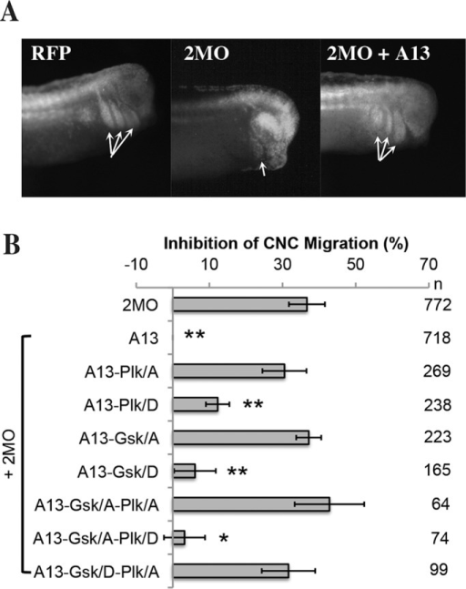 Phosphorylation sites are required for ADAM13 function during CNC migration. (A) Fluorescence images showing representative embryos for the injections of RFP alone, the knockdown with 2MO, or the rescue with wild-type ADAM13. Arrows indicate the position of the three migration segments (from left to right: hyoid, branchial, mandibular). (B) Histogram of targeted injection assays testing the ability of ADAM13 phosphomutants to rescue CNC migration in ADAM13/19-deficient embryos (2MO) from at least three independent experiments. Values are percentages of embryos with no CNC migration, normalized to 2MO + wild-type ADAM13. The error bars correspond to the SD. n, number of embryos scored for each case. Statistical significance of rescue: *p < 0.05, **p < 0.01.