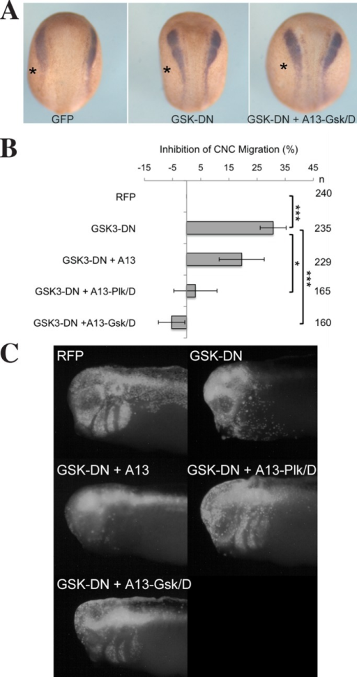GSK3 activity is critical for ADAM13 in CNC cell migration. (A) In situ hybridization using a probe to detect the CNC marker slug in neurula-stage embryos (st. 14), showing that induction is not affected by GSK3-DN. Injected sides of each embryo are on the left (asterisk). (B) Histogram representing the percentage of embryos with no CNC migration in a targeted injection assay from at least five independent experiments. Values are normalized to injection of RFP alone. Error bars are SD. n, number of embryos scored. *p < 0.01, ***p < 0.001. (C) Fluorescence images showing typical result for each case in the targeted injection assay in B. A defect in migration is scored by the absence of RFP-labeled cells within the migration pathway.