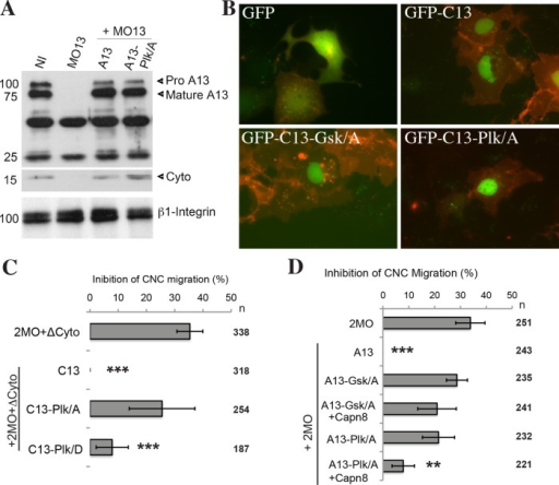 ADAM13-dependent regulation of calpain8 expression depends on ADAM13 phosphorylation. (A) ADAM13 was immunoprecipitated (IP) from 20 embryos using a goat polyclonal antibody g821. Noninjected embryos (NI) at stage 18 (neurula) are compared with sibling embryos injected with MO13 or MO13 plus MO-resistant mRNA encoding ADAM13-Plk/A or wild type. ADAM13 protein was detected by Western blot using 6615F. The polyvinylidene fluoride membrane was cut below 25 kDa and the two halves probed separately. The cleaved cytoplasmic domain (Cyto) is observed at 17 kDa for both wild-type and Plk/A ADAM13. Samples of the input for the IP were analyzed by Western blot with the 8C8 antibody for β1 integrin as a loading control. (B) Fluorescence images showing the localization of GFP-fusion proteins (green) expressed in Cos-7 cells along with membrane-bound mCherry (red). GFP is observed uniformly throughout the cytoplasm and nucleus, whereas GFP-C13 and the phosphodeficient mutants all accumulate strongly in the nucleus. (C, D) Analyses of targeted injection assays displaying the loss of CNC migration as a percentage of embryos. (C) MO13 + MO19 (2MO) was coinjected with mRNA encoding ADAM13 lacking its cytoplasmic domain (ΔCyto) plus either GFP-C13 wild type or phosphomutants. Values are normalized to the rescue with GFP-C13 wild type, and Student's t tests were performed to compare values to 2MO + ΔCyto. (D) 2MO was injected with ADAM13-Plk/A or ADAM13-Gsk/A mRNA alone or together with Capn8 mRNA. Inhibitions are normalized to RFP, and Student's t tests were performed against 2MO. Error bars are SD from four or more independent experiments. n, number of embryos scored. **p < 0.01, ***p < 0.005.