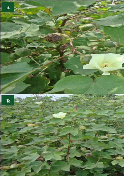 A) Bt cotton (Gossypium hirsutum) plant with flower and fruit, (B) Bt cotton plantation in field.