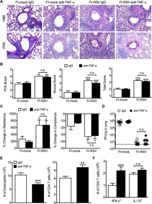 TNF-α contributes to airway obstruction and weight loss during FI-RSV VED.BALB/c mice were immunized with FI-RSV and treated with either IgG or anti-TNF-α neutralization antibody prior to RSV challenge. (A) H&E and PAS staining were performed on immunized mice at day 4 following RSV challenge. Representative pictures were taken for each group at 200X magnification. (B) Stained lung sections were evaluated for PVA, mucus, and total histopathology scores. (C) Lower airway resistance and compliance were assessed in immunized mice at day 4 p.i. (D) Viral titers were quantified at day 4 p.i. between IgG and anti-TNF-α treated immunized mice. (E) Total numbers of eosinophils and CD4 T cells in the lungs of vaccinated mice receiving anti-TNF-α neutralizing antibody were enumerated on day 7 following RSV infection. (F) Total number of Th1 and Th2 cytokine producing cells in the lungs was quantified at day 7 post-infection following PMA and ionomycin stimulation. Data are represented as mean ± SEM of 2 independent experiments (n = 8 total mice). Groups were compared using one-way ANOVA, * p<0.05, ** p<0.01, *** p<0.001.