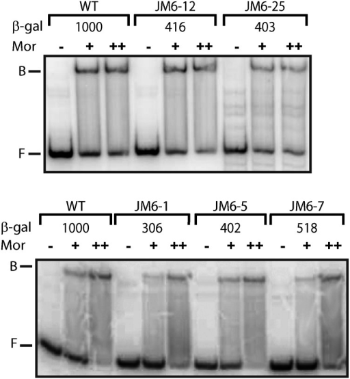 Representative results for gel retardation analysis of Mor binding to Pm DNA fragments with upstream mutations. Radiolabeled WT or mutant Pm probes containing Pm sequence −98 to +10 (at ~0.4 nM) were incubated with 0 (−), 68 nM (+), or 340 nM (++) purified Mor protein in 20 μL of binding buffer (Ma and Howe 2004) for 15 min at 30°. Binding mixtures were loaded onto 8% native acrylamide gels (29:1) in 0.5x Tris/Borate/EDTA buffer and subjected to electrophoresis for 3 hr at 4° and 15V/cm. The positions of free probe and bound complexes are indicated by F and B, respectively.