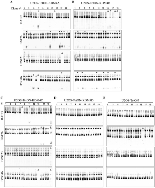 Overexpression of KDM4A-C, but not KDM4D, displays MSI phenotype.(A–E) Microsatellite instability (MSI) assay showing the analysis of PCR product patterns of four microsatellite markers in subclones derived from U2OS-TetON expressing EGFP fused to KDM4A (A), KDM4B (B), KDM4C (C), KDM4D (D) and U2OS-TetON control cells (E). To determine the microsatellite stability, genomic DNA was extracted from 20 single clones derived from different single cells of each cell line. The indicated microsatellite markers were then amplified using specific primers pairs, resolved by polyacrylamide-urea electrophoresis and visualized by SYBR-Gold staining. Δ and * show clones exhibiting complete deletion of the tested microsatellite markers or new repeat species, respectively.